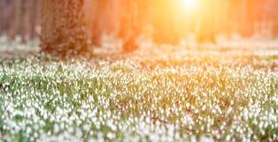 Το δασικό σύνολο του snowdrop ανθίζει την άνοιξη την εποχή Στοκ Εικόνα