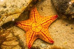 Το αστέρι θάλασσας Στοκ Εικόνες