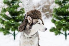 Το αστείο γεροδεμένο σκυλί είναι στο θερμό καπέλο με τα χτυπήματα αυτιών και πράσινα fir-trees στοκ φωτογραφίες