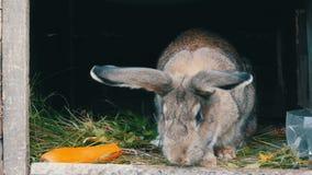 Το αστείο γκρίζο μεγάλο κουνέλι κοιτάζει γύρω σε ένα ανοικτό κλουβί κοντά στο μεγάλο καρότο 2 όλα τα αυγά Πάσχας έννοιας νεοσσών  φιλμ μικρού μήκους