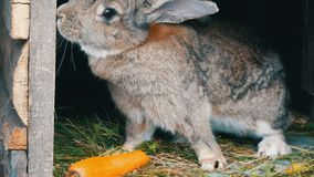 Το αστείο γκρίζο μεγάλο κουνέλι κοιτάζει γύρω σε ένα ανοικτό κλουβί κοντά στο μεγάλο καρότο 2 όλα τα αυγά Πάσχας έννοιας νεοσσών  απόθεμα βίντεο