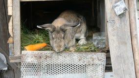 Το αστείο γκρίζο μεγάλο κουνέλι κοιτάζει γύρω σε ένα ανοικτό κλουβί κοντά στο μεγάλο καρότο r απόθεμα βίντεο