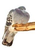 Το αστείο παχύ πουλί περιστεριών κάθεται σε έναν κλάδο Στοκ Φωτογραφία