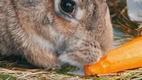 Το αστείο πολύ μεγάλο γκρίζο μάσημα κουνελιών ή τρώει τα καρότα 2 όλα τα αυγά Πάσχας έννοιας νεοσσών κάδων ανθίζουν τη χλόη χρωμά φιλμ μικρού μήκους