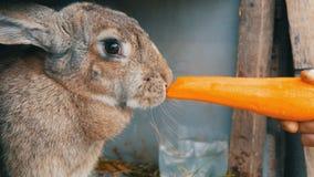Το αστείο πολύ μεγάλο γκρίζο μάσημα κουνελιών ή τρώει τα μεγάλα καρότα r απόθεμα βίντεο