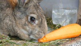 Το αστείο πολύ μεγάλο γκρίζο μάσημα κουνελιών ή τρώει τα μεγάλα καρότα 2 όλα τα αυγά Πάσχας έννοιας νεοσσών κάδων ανθίζουν τη χλό απόθεμα βίντεο
