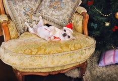 Το αστείο σκυλί chihuahua παρουσιάζει ότι η κοιλιά που βρίσκεται σε μια πολυθρόνα στο νέο έτος διακοσμεί το εσωτερικό Στοκ Εικόνες