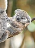 το αυστραλιανό μωρό αντέχει το χαριτωμένο koala Στοκ εικόνα με δικαίωμα ελεύθερης χρήσης