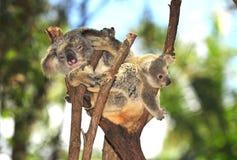 το αυστραλιανό μωρό αντέχει το koala Στοκ Φωτογραφίες