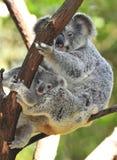 το αυστραλιανό μωρό της Αυστραλίας αντέχει το χαριτωμένο koala Στοκ Εικόνα