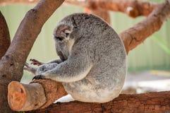 Το αυστραλιανό koala αντέχει το πορτρέτο Στοκ Εικόνες