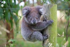 Το αυστραλιανό μωρό Koala αντέχει Στοκ Εικόνες