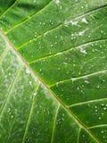Το αυτί ελεφάντων βγάζει φύλλα τα καταφύγια Aracaveae Στοκ εικόνες με δικαίωμα ελεύθερης χρήσης
