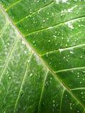 Το αυτί ελεφάντων βγάζει φύλλα τα καταφύγια Aracaveae Στοκ Εικόνα