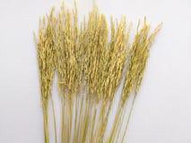 Το αυτί του ρυζιού Στοκ Εικόνα