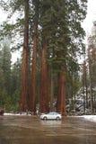 Το αυτοκίνητο από το γιγαντιαίο sequoia δάσος που σταθμεύει επεξηγεί το ακραίο ύψος αυτών των ψηλών δέντρων Στοκ φωτογραφίες με δικαίωμα ελεύθερης χρήσης