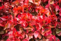 Το αφηρημένο λουλούδι φύλλων μορφής κόκκινο καλλιεργεί υπαίθρια Στοκ Εικόνες
