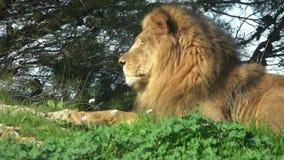 Το αφρικανικό αρσενικό λιονταριών βρίσκεται στη χλόη και φαίνεται ευθύ φιλμ μικρού μήκους
