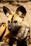το αφρικανικό σκυλί χρωμάτισε τις άγρια περιοχές Στοκ εικόνες με δικαίωμα ελεύθερης χρήσης