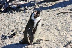 Το αφρικανικό penguin παίρνει sunbath Πλάγια όψη Στοκ εικόνα με δικαίωμα ελεύθερης χρήσης