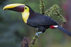 Το Α μαύρος-toucan ή κίτρινος-toucan που εσκαρφάλωσε στον κλάδο στη Κόστα Ρίκα στοκ φωτογραφίες με δικαίωμα ελεύθερης χρήσης
