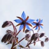 Αλμυρό Hortensis (Satureja hortensis, Harige Hortensis) Στοκ εικόνες με δικαίωμα ελεύθερης χρήσης