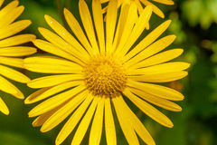 το βάθος ρίχνει το χαμηλό μακρο βλασταημένο ύδωρ λουλουδιών πεδίων κίτρινο Στοκ Εικόνα