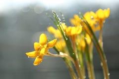το βάθος ρίχνει το χαμηλό μακρο βλασταημένο ύδωρ λουλουδιών πεδίων κίτρινο νάρκισσοι με το όμορφο bokeh στοκ εικόνα με δικαίωμα ελεύθερης χρήσης