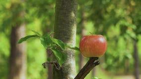 Το βέλος χτυπά ένα μήλο απόθεμα βίντεο