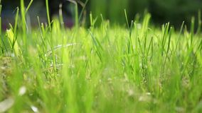 Το βίντεο κινηματογραφήσεων σε πρώτο πλάνο η όμορφη πράσινη χλόη καλοκαιριού ενάντια στον ήλιο πρωινού, με ένα υπόβαθρο bokeh απόθεμα βίντεο
