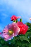 Το βαμβάκι αυξήθηκε λουλούδι Στοκ φωτογραφίες με δικαίωμα ελεύθερης χρήσης
