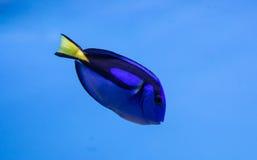 Το βασιλικό μπλε Tang Στοκ Φωτογραφίες