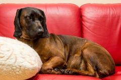 Το βαυαρικό κυνηγόσκυλο βάζει όπως έναν άνθρωπο Στοκ εικόνες με δικαίωμα ελεύθερης χρήσης
