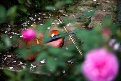 Το βιολί στη φυτεία με τριανταφυλλιές Στοκ φωτογραφίες με δικαίωμα ελεύθερης χρήσης