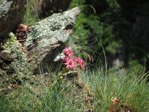 Το βουνό ανθίζει στην άνοιξη, arachnoideum Sempervivum, κοινό houseleek, Άλπεις, Ευρώπη Στοκ Φωτογραφίες
