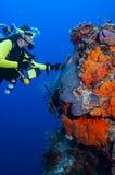 Το βουτώντας τολμηρό θηλυκό σκαφάνδρων ερευνά το υποβρύχιο περιβάλλον της στοκ εικόνες