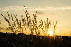 Το βράδυ, ηλιοβασίλεμα καλάμων Στοκ Εικόνες