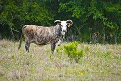 Το βραβείο Brindle χρωμάτισε τον ταύρο Στοκ εικόνα με δικαίωμα ελεύθερης χρήσης