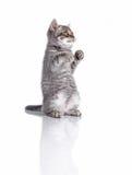 Το βρετανικό γατάκι θέτει του μπόξερ Στοκ φωτογραφία με δικαίωμα ελεύθερης χρήσης