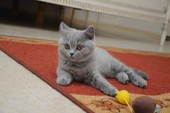 Το βρετανικό χαριτωμένο λατρευτό γατάκι παίζει με το μικρό κίτρινο ποντίκι Στοκ Εικόνα