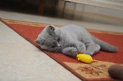 Το βρετανικό χαριτωμένο λατρευτό γατάκι παίζει με το μικρό κίτρινο ποντίκι Στοκ φωτογραφία με δικαίωμα ελεύθερης χρήσης