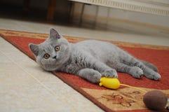 Το βρετανικό χαριτωμένο λατρευτό γατάκι παίζει με το μικρό κίτρινο ποντίκι Στοκ Φωτογραφίες