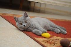 Το βρετανικό χαριτωμένο λατρευτό γατάκι παίζει με το μικρό κίτρινο ποντίκι Στοκ εικόνα με δικαίωμα ελεύθερης χρήσης