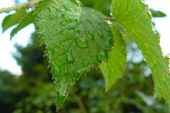 Το βροχερό φύλλο Στοκ φωτογραφίες με δικαίωμα ελεύθερης χρήσης