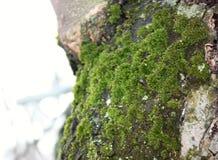Το βρύο αυξάνεται βαριά στο φλοιό ενός παλαιού δέντρου μηλιάς και δημιουργεί μια ελκυστική σύσταση στοκ εικόνες