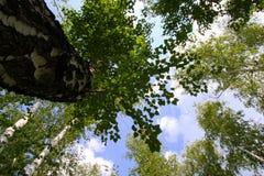 Το βλέμμα στον ουρανό μέσω των δέντρων Στοκ φωτογραφία με δικαίωμα ελεύθερης χρήσης
