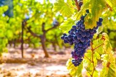 Το γαλλικό κόκκινο και αυξήθηκε σταφύλια κρασιού φυτεύει, αυξανόμενος στο ochre ορυκτό χώμα, νέα συγκομιδή του σταφυλιού κρασιού  στοκ φωτογραφία