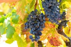 Το γαλλικό κόκκινο και αυξήθηκε σταφύλια κρασιού φυτεύει, αυξανόμενος στο ochre ορυκτό χώμα, νέα συγκομιδή του σταφυλιού κρασιού  στοκ εικόνες