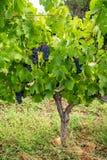 Το γαλλικό κόκκινο και αυξήθηκε σταφύλια κρασιού φυτεύει, πρώτη νέα συγκομιδή του σταφυλιού κρασιού στη Γαλλία, AOP Costieres de  στοκ εικόνα με δικαίωμα ελεύθερης χρήσης