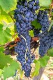 Το γαλλικό κόκκινο και αυξήθηκε σταφύλια κρασιού φυτεύει, πρώτη νέα συγκομιδή του σταφυλιού κρασιού στη Γαλλία, AOP Costieres de  στοκ εικόνες